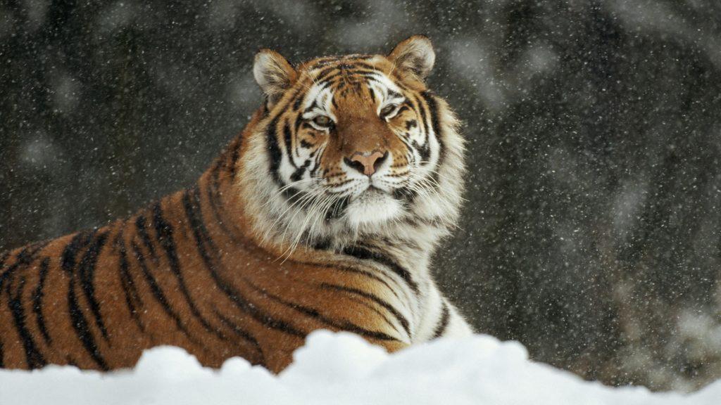 ГЛОНАСС спас тигров