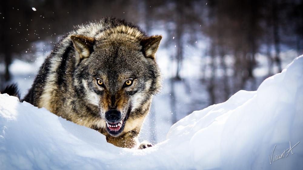 Волк 2.0: GPS-ошейники для животных — не только в животноводстве