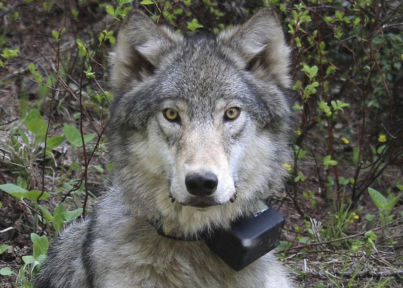 GPS-маяки для животных дают наводку браконьерам?