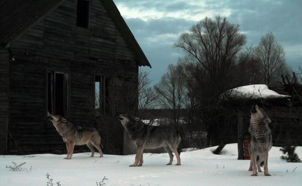 Волки с GPS-маяками бегут из Чернобыльской зоны отчуждения