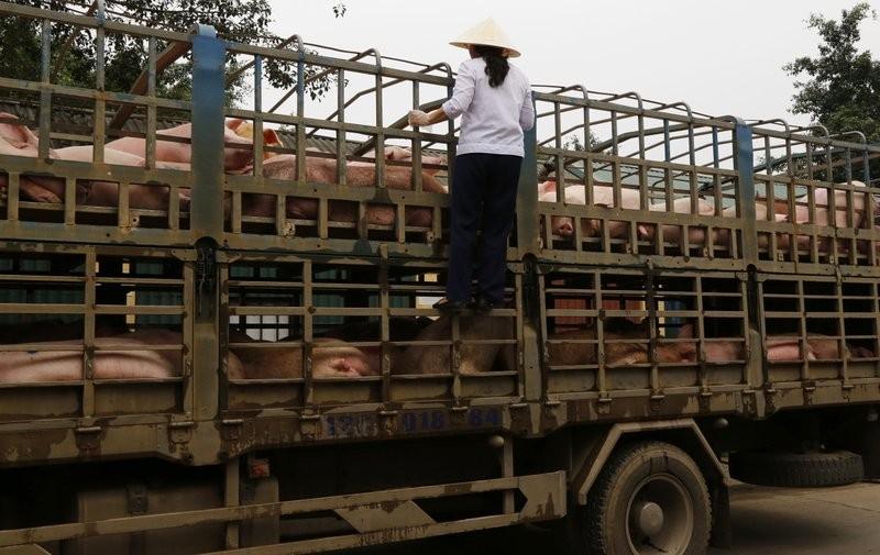 GPS защитит Тайвань от чумных свиней из КНР
